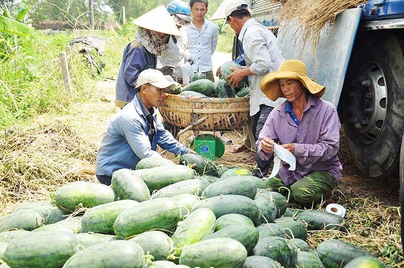 Huyện Phú Ninh đang tập trung phát triển ngành nông nghiệp theo hướng hàng hóa nhằm nâng cao hiệu quả sản xuất. Ảnh: Đ.N