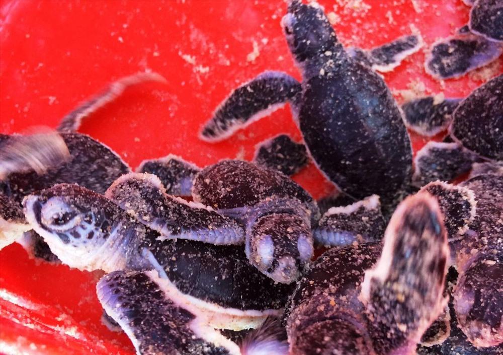 Lượng rùa con trở về biển một cách tự nhiên ngày càng giảm sút do số lượng rùa lên bãi biển đẻ trứng giảm mạnh trong hơn 30 năm qua. Ảnh: Q.T