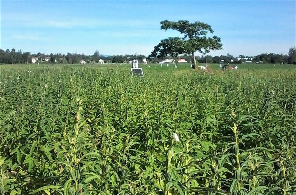 HTX Nông nghiệp Bình Đào mở rộng diện tích trồng mè để sản xuất dầu mè. Ảnh: HTX Bình Đào cung cấp