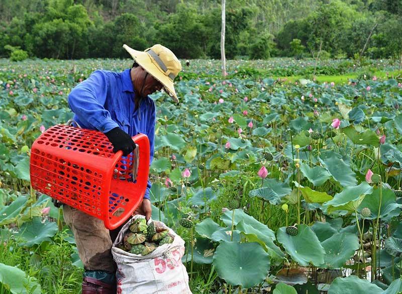 Tại nhiều địa phương, việc cải tạo những ruộng lúa trũng thấp sang trồng sen chuyên canh mang lại hiệu quả kinh tế cao. Ảnh: T.R