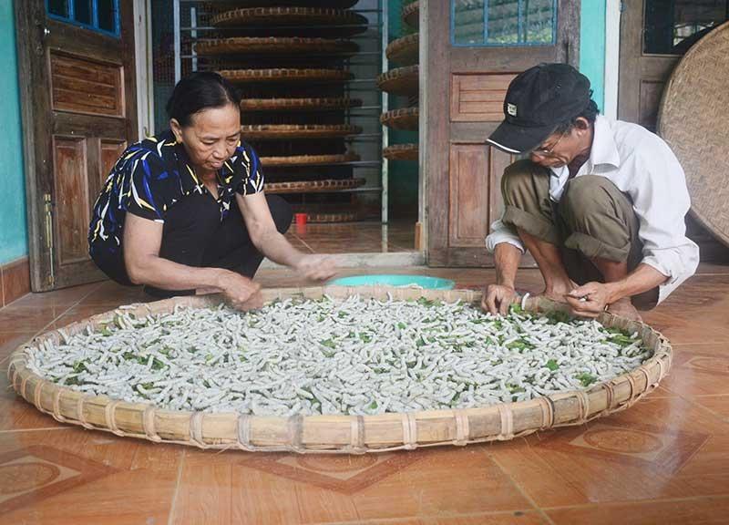 Người trồng dâu nuôi tằm cần thêm những hỗ trợ để khôi phục nghề truyền thống. Ảnh: Q.T