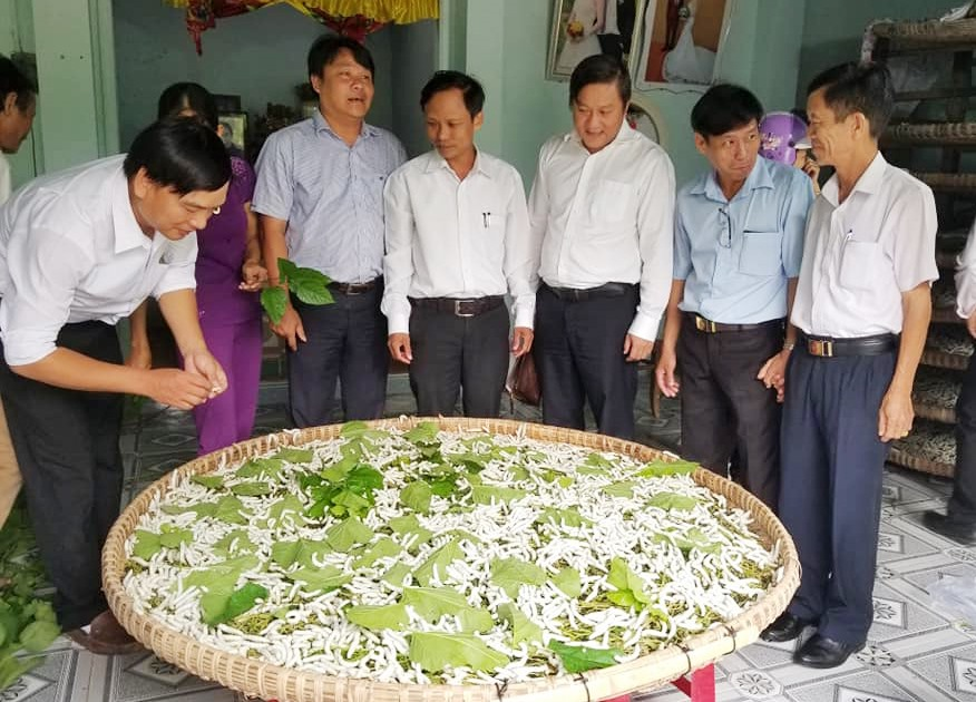Huyện Nông Sơn đang cố gắng khôi phục lại nghề trồng dâu nuôi tằm. Ảnh: THÔNG VINH