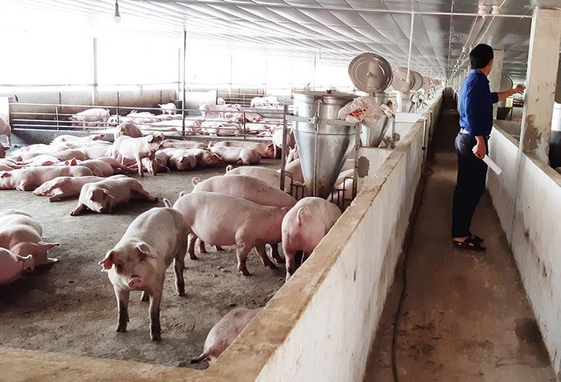 """Các chủ trang trại và gia trại chăn nuôi heo nhất thiết phải thực hiện triệt để biện pháp """"nội bất xuất, ngoại bất nhập"""". Ảnh: VĂN SỰ"""