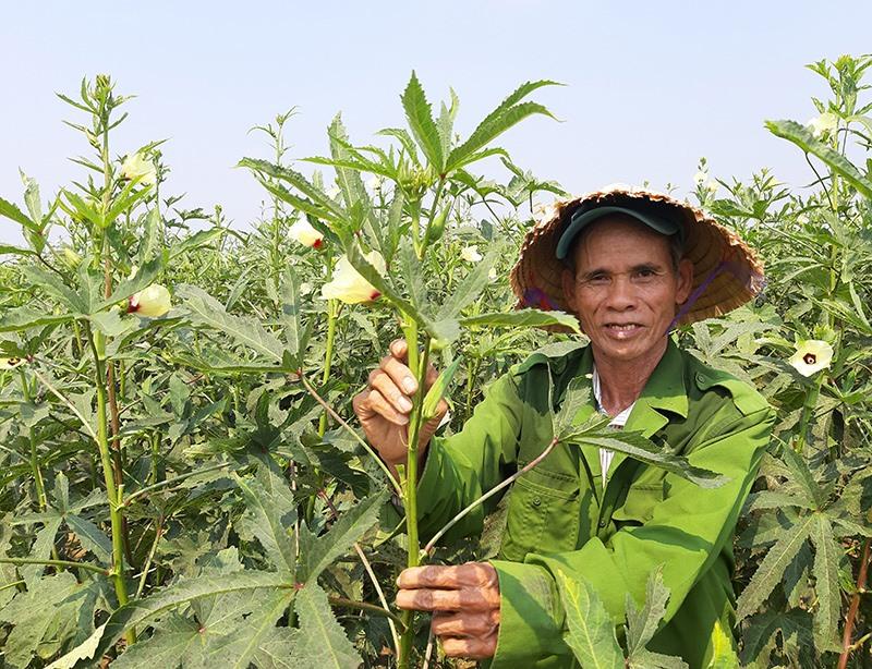Hơn 1 tháng nay, bình quân mỗi ngày ông Lê Bản Chín ở khối phố Long Xuyên 2 (Nam Phước, Duy Xuyên) thu về 350 nghìn đồng từ ruộng đậu bắp trái vụ. Ảnh: T.R