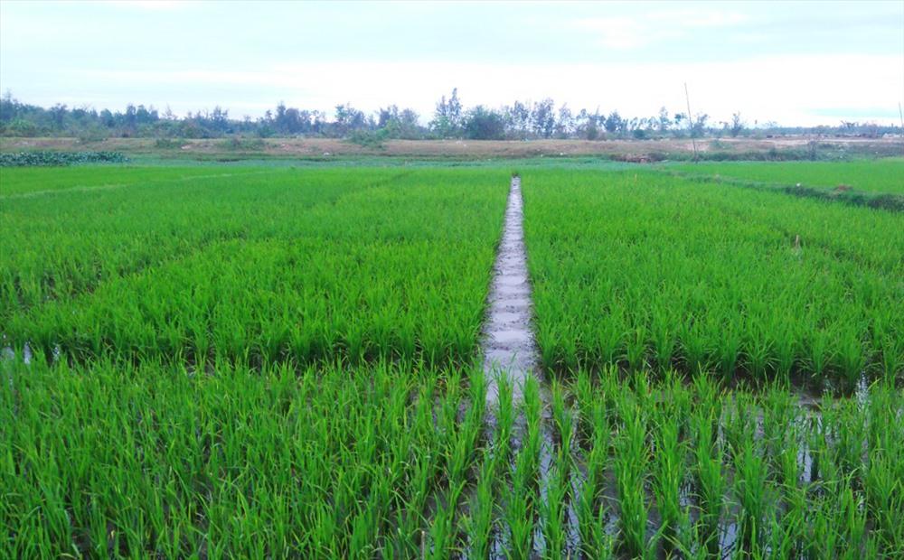 UBND xã Bình Chánh sẽ áp dụng mô hình này trên 600ha đất sản xuất của địa phương. Ảnh: PHAN VINH