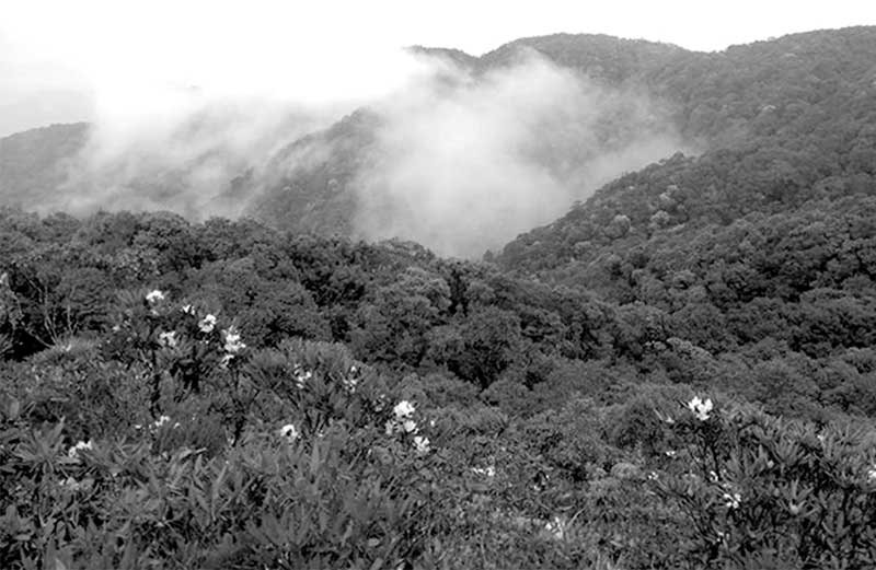 Rừng di sản đỗ quyên cổ trên đỉnh K'lang 2.005m, Tây Giang, Quảng Nam.