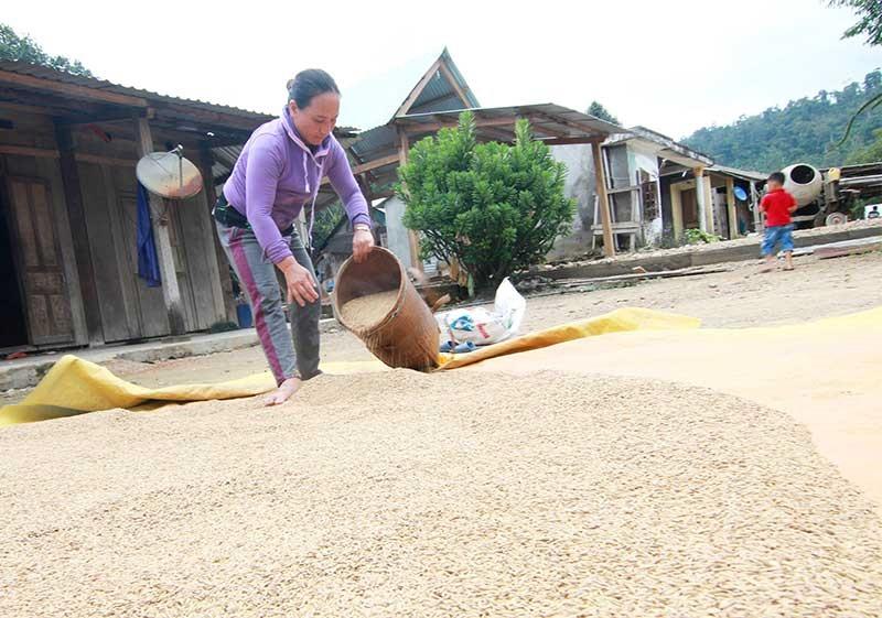 Giống lúa rẫy baton được người dân dùng để tổ chức lễ mừng cơm mới. Ảnh: N.C
