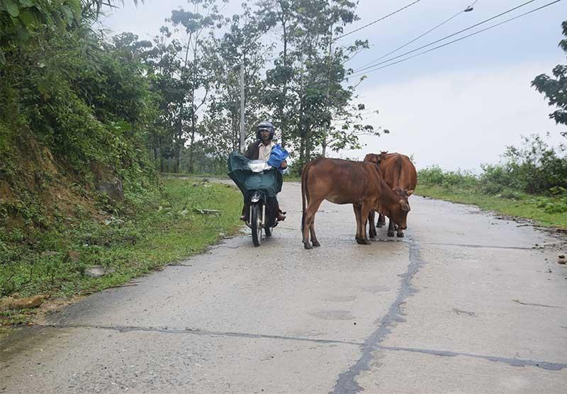 Người dân chăn thả gia súc trên tuyến đường vào xã Trà Bui (Bắc Trà My) tiềm ẩn nguy cơ mất an toàn giao thông. Ảnh: THANH THẮNG