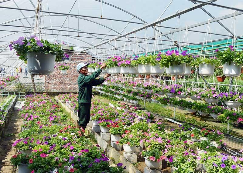 Mỗi vụ tết vườn hoa của ông Nguyễn Văn Sáu mang lại thu nhập hàng trăm triệu đồng. Ảnh: V.L
