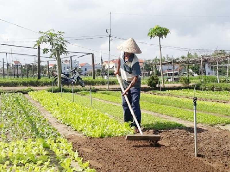 Nông dân Trà Quế chăm sóc vườn rau.