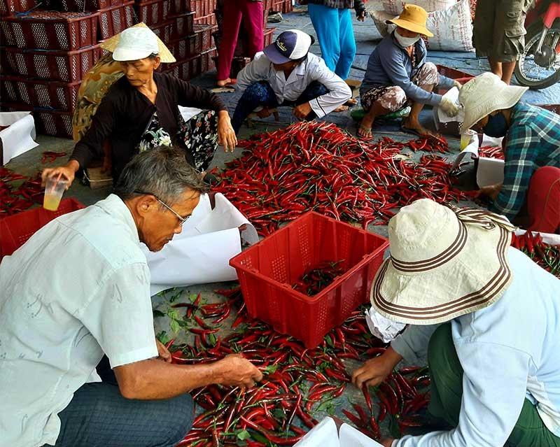 Mô hình liên kết sản xuất ớt xuất khẩu giữa HTX Nông nghiệp Lệ Bắc (xã Duy Châu, Duy Xuyên) với các doanh nghiệp mang lại hiệu quả kinh tế cao. Ảnh: VĂN SỰ