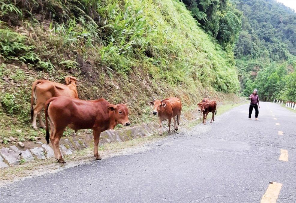 Đàn bò được trao trả lại cho bà Đông