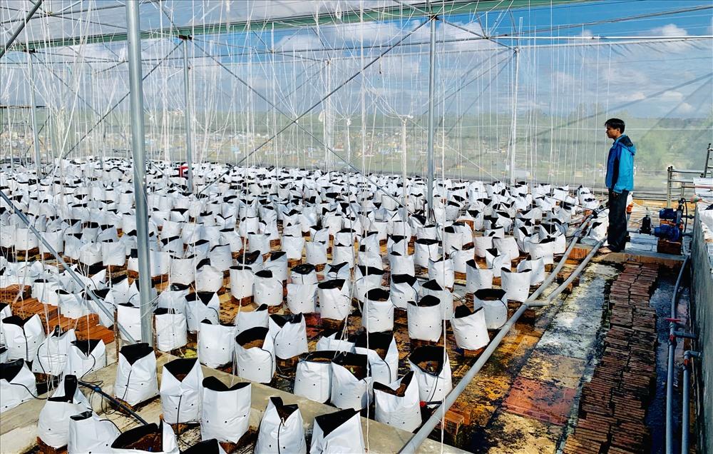 Mô hình dưa lưới hơn 1.000m2 của anh HTX Thanh niên. Ảnh: PHAN VINH