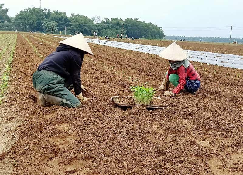 Nông dân vùng Đại Nghĩa (Đại Lộc) trồng cây ớt vụ đông xuân. Ảnh: TRIÊU NHAN