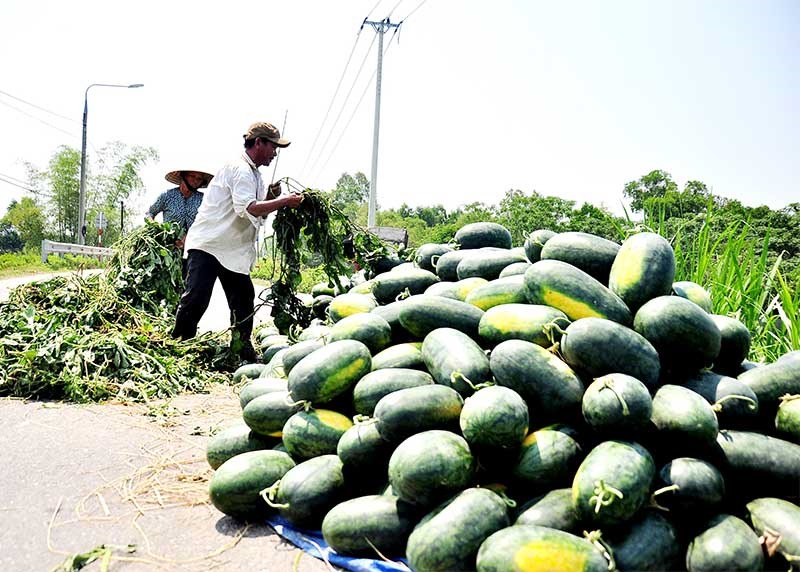 Dưa hấu là sản phẩm nông nghiệp mang lại hiệu quả kinh tế cao cho người dân Phú Ninh. Tuy nhiên, vẫn đề xây dựng thương hiệu, liên doanh, liên kết sản xuất còn nhiều yếu kém cần phải có giải pháp khắc phục. Ảnh: V.A