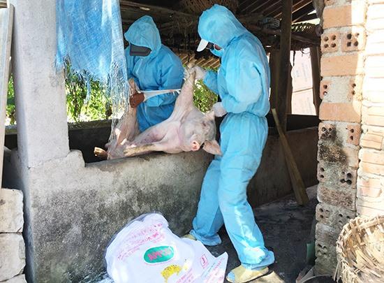 Sáng qua 10.6, lực lượng chức năng huyện Phú Ninh tiến hành tiêu hủy 6 con heo nhiễm dịch của hộ ông Huỳnh Tấn Đông (thôn Trường Mỹ, xã Tam Thái). Ảnh: VĂN SỰ