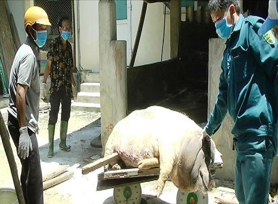 Sau khi tiêu hủy đàn heo của ông Nguyễn Như Tiến, 14 ngày qua tại xã Duy Trung không phát sinh thêm ổ bệnh mới. Ảnh: H.N