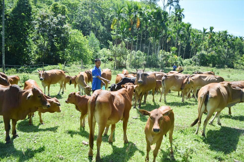 Anh Phạm Văn Quang cho đàn bò ăn muối trắng để tạo thuộc tính bầy đàn cho bò. Ảnh: THÁI CƯỜNG