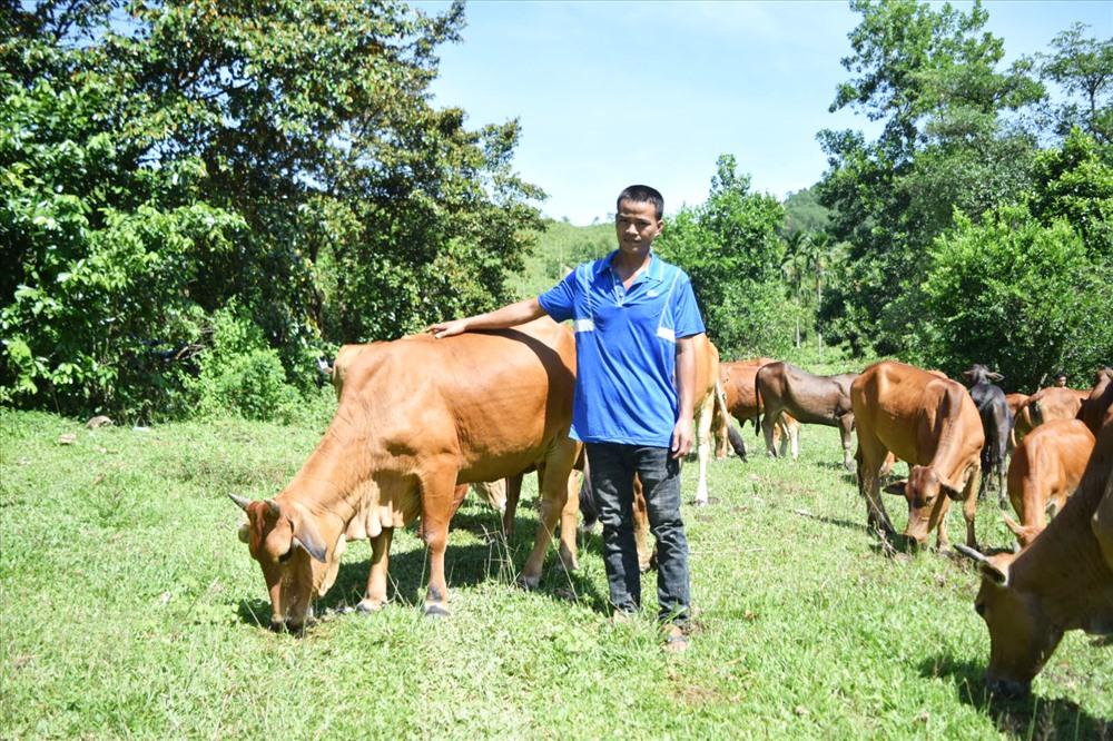 Mô hình nuôi bò cỏ thả rông của anh Quang mang lại kinh tế ổn định. Ảnh: THÁI CƯỜNG