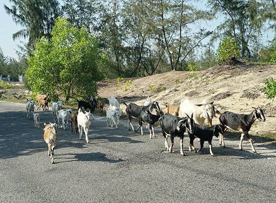 Đàn dê trên đường đến sông Trường Giang để kiếm thức ăn.