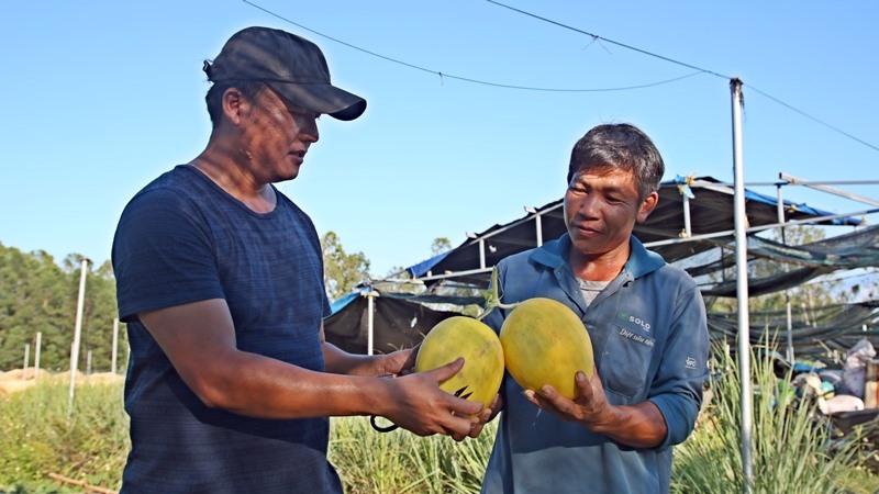 HTX Thực phẩm sạch Phú Ninh thành công trong việc trồng dưa lê đầu tiên trên đất Phú Ninh với sản lượng 1 tấn/sào. Ảnh: Đ.Q