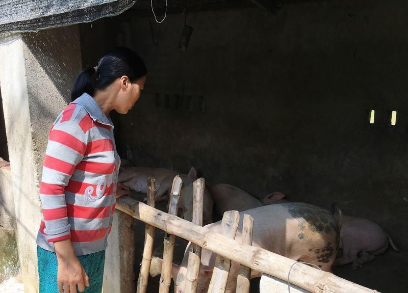 Hơn 1.600 con heo nuôi tại hộ gia đình ở xã Tam Lộc có nguy cơ bị đe dọa bởi dịch tả heo châu Phi. Ảnh: H.C