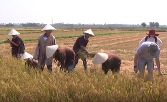Du khách gặt lúa cùng nông dân Hội An. Ảnh: L.H