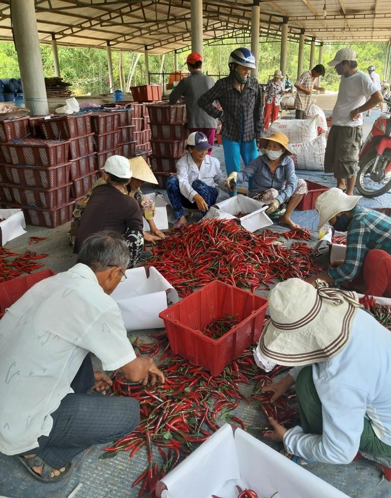 Những năm gần đây, nhiều HTX nông nghiệp mạnh dạn liên kết với doanh nghiệp tổ chức sản xuất và bao tiêu đầu ra một số loại nông sản. Ảnh: VĂN SỰ