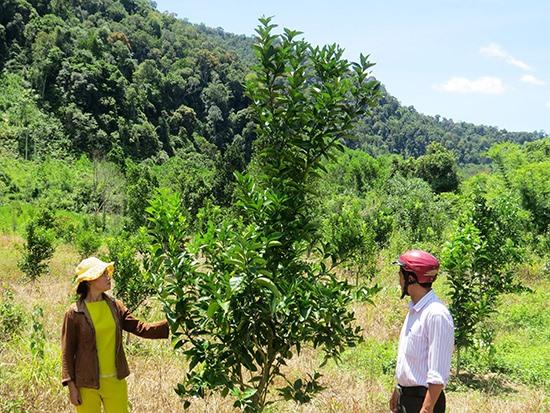 Cây cam Vinh từ mảnh vườn của gia đình anh Radal Nhi và chị Bling thị Bờnh (xã Atiêng, Tây Giang) đang phát triển tốt. Ảnh: H.LIÊN