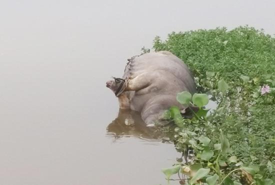 Xác con heo nái nổi lềnh bềnh trên sông Cống Ba thuộc địa phận 2 thôn Phù Sa – Trung Vĩnh của xã Quế Xuân 1 (Quế Sơn) sáng qua 31.7. Ảnh: VĂN SỰ