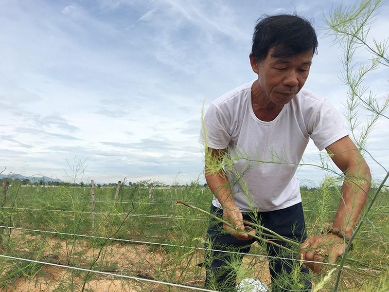 Ông Cường chăm sóc vườn măng tây của mình. Ảnh: K.L