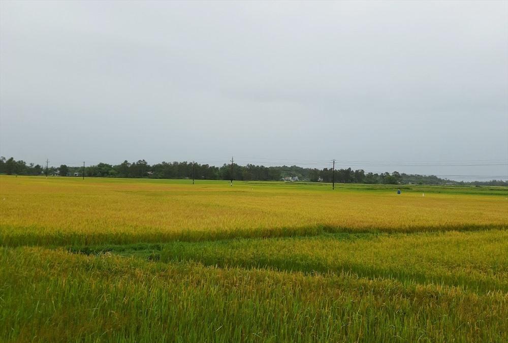 Nhiều ruộng lúa tại Thăng Bình đã chín vàng nhưng chưa được thu hoạch. Ảnh: THANH THẮNG