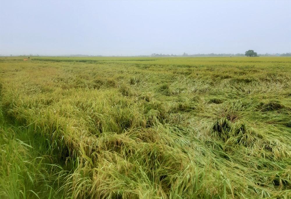 Cơn mưa đêm 28.8 gây ngã đổ nhiều diện tích lúa. Ảnh: THANH THẮNG