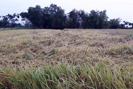 Nhiều diện tích lúa ở phường Điện Nam Trung (Điện Bàn) ngã rạp. Ảnh: KHÁNH LINH
