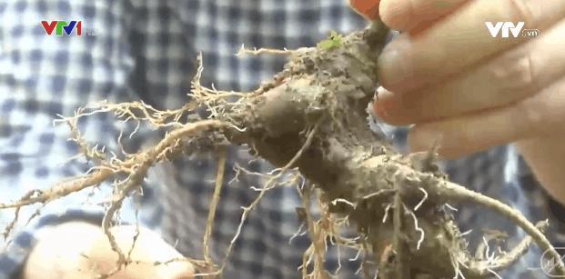 A root of Ngoc Linh ginseng