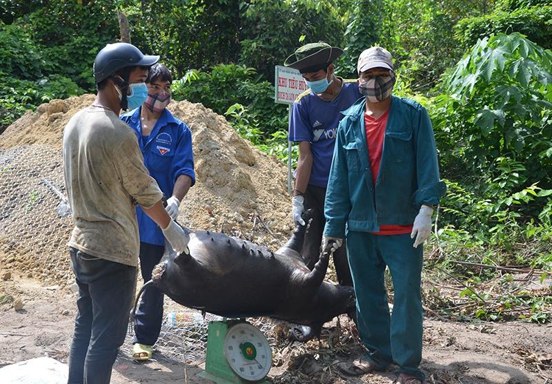 Con heo nái đen của bà Hồ Thị Nhi bị đem đi tiêu hủy sáng 7.8. Ảnh: T.H