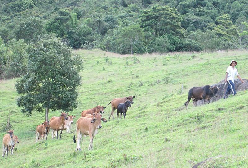 Phần lớn người dân Tây Giang thả rông gia súc nên việc triển khai tiêm phòng rất khó khăn. Ảnh: Đ.H