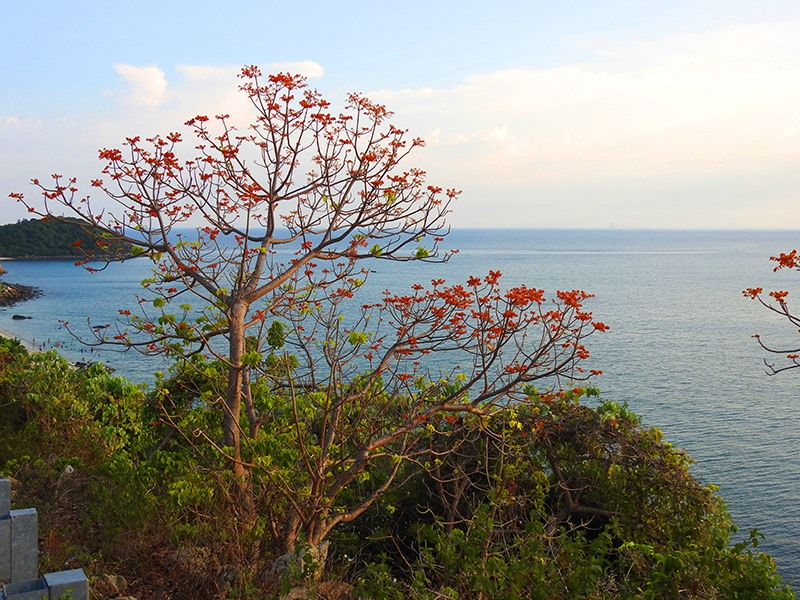 Ngỡ ngàng một bên biển nước trong veo, một bên hoa ngô đồng kiêu sa trong mây bồng bềnh.