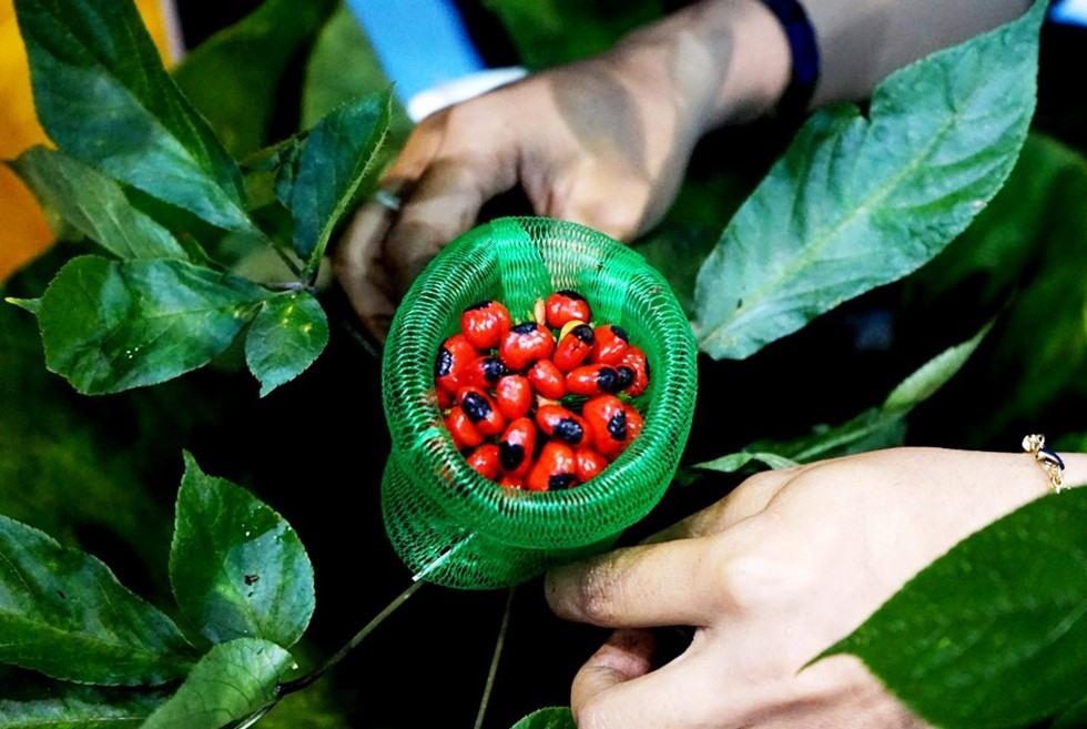 Ngoc Linh ginseng in Quang Nam