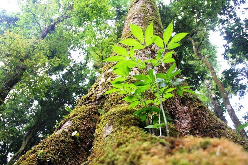 A ginseng grows naturally on a stem of an ancient tree.