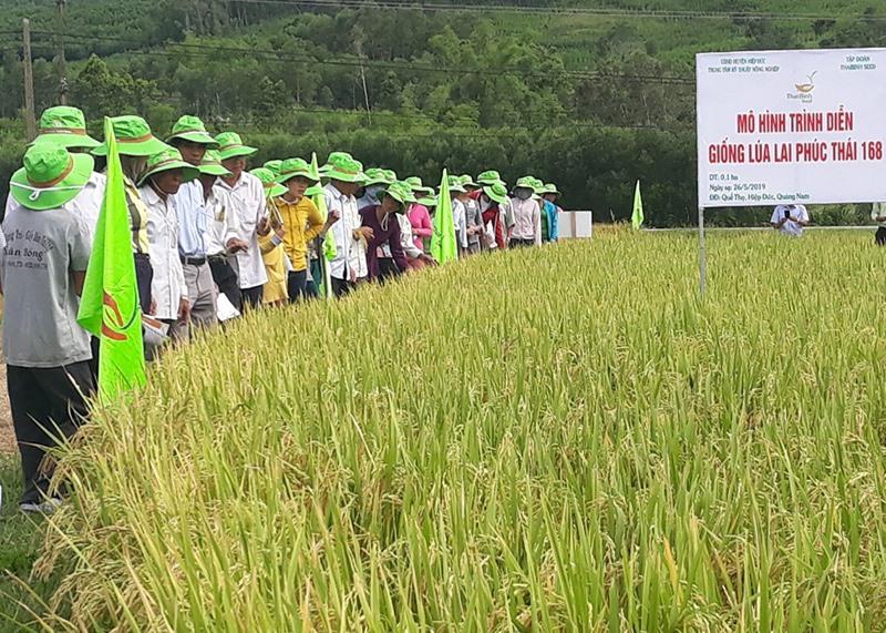 Tham quan mô hình sản xuất khảo nghiệm giống lúa lai Phúc Thái 168 tại xã Quế Thọ (Hiệp Đức). Ảnh: N.P