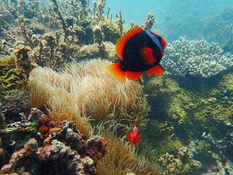 Một góc hệ sinh thái dưới biển trong Khu dự trữ sinh quyển thế giới Cù Lao Chàm - Hội An. Ảnh: Q.T