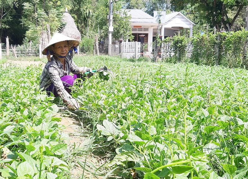 Khu vườn mẫu của bà Trương Thị Ngôn ở thôn Lệ Bắc (xã Duy Châu, Duy Xuyên) bước đầu mang lại hiệu quả kinh tế cao. Ảnh: H.N