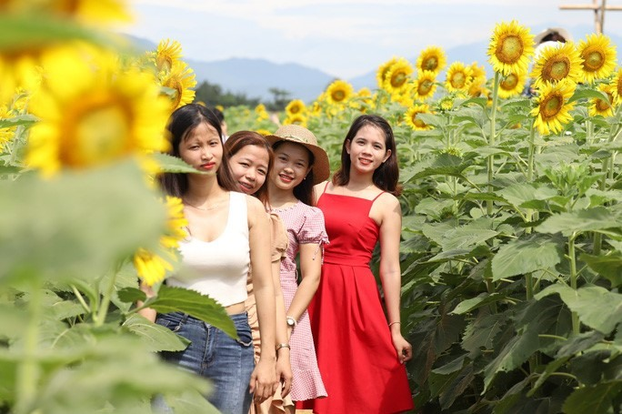 According to Dr. Nguyen Van Duc, it took them about 2 months to look afer the sunflower trees in the sunny climate to have such beautiful sunflowers.