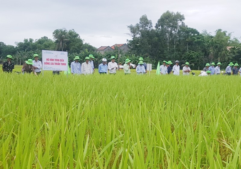 Tham quan mô hình sản xuất trình diễn giống lúa thuần mới TBR89 tại khối phố Ngân Hà (phường Điện Ngọc, thị xã Điện Bàn). Ảnh: M.L
