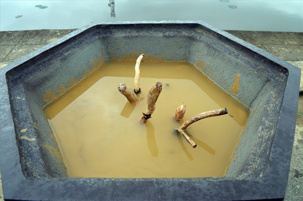 Sen giống Oga được giâm trong chậu sau khi ra lá sẽ được trồng xuống hồ gần khu vực Trung tâm hành chính thị xã Điện Bàn