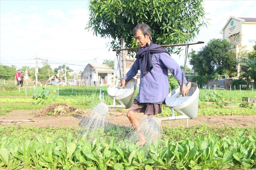 Nông dân làng rau Trà Quế tưới rau trước khi thu hoạch