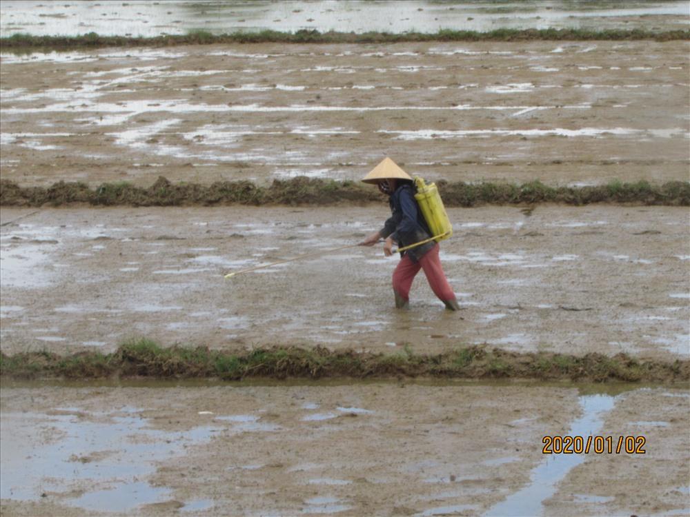 Nông dân Núi Thành chăm bón lúa đông xuân. Ảnh: Văn Phin