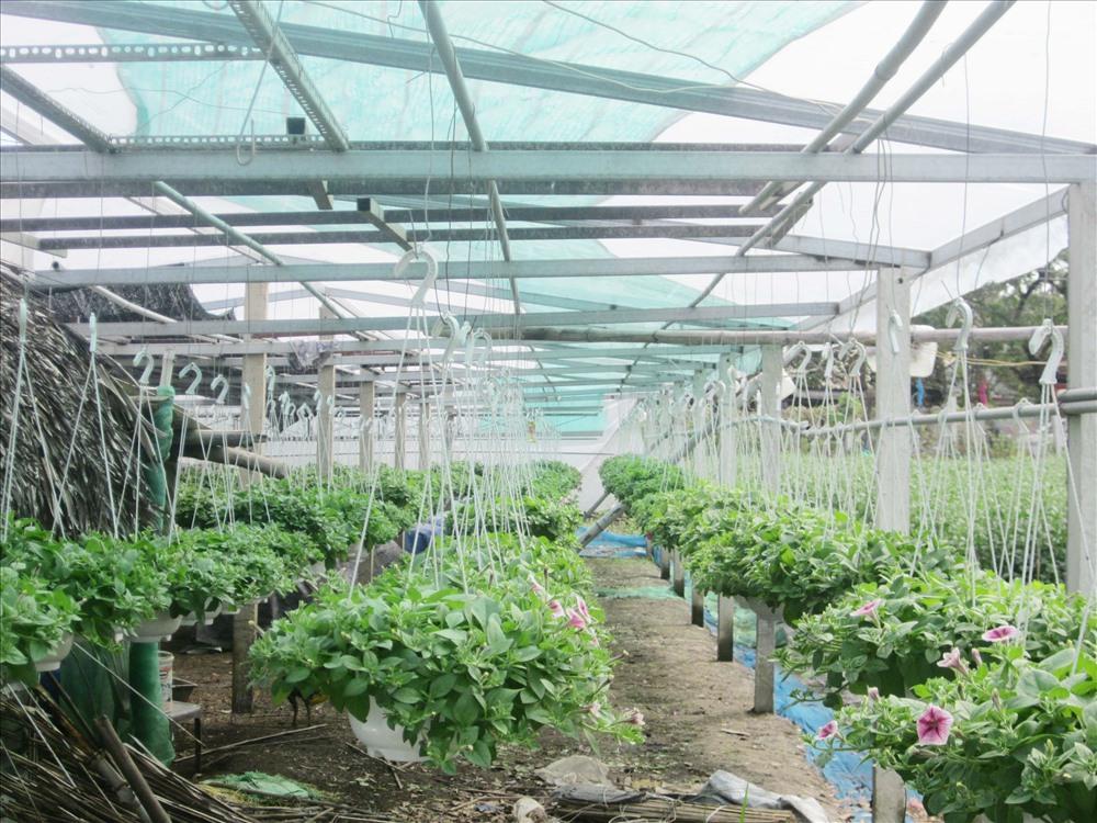 Vụ hoa tết 2019 tại các nhà vườn ở Cẩm Châu phát triển tươi tốt. Ảnh: NHƯ QUỲNH