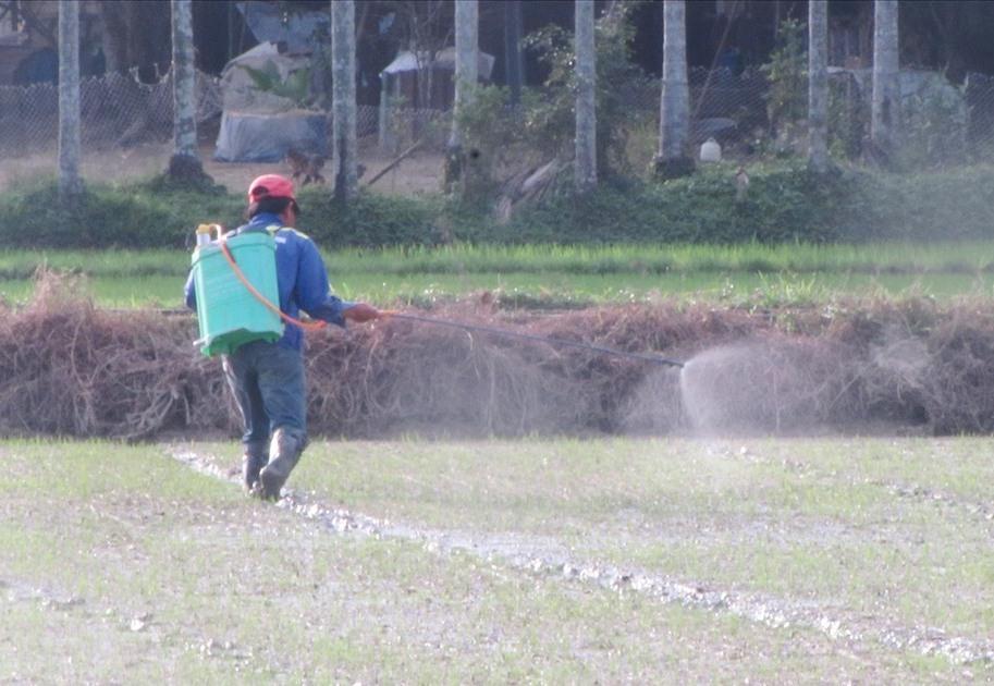 Nông dân Núi Thành chăm bón lúa đông xuân trước Tết. Ảnh: Văn Phin
